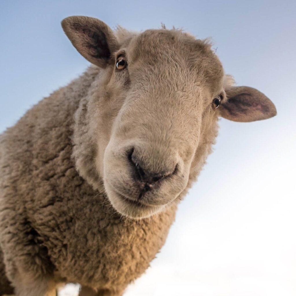 mouton-merinos